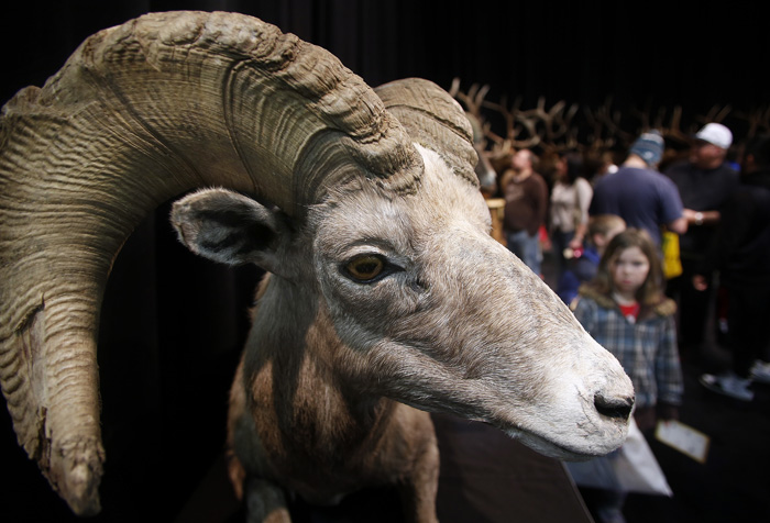 Gun and hunting enthusiasts look at a mounted big horn sheep at the Western Hunting and Conservation Expo in Salt Lake CIty, Utah, February 23, 2013.  REUTERS/Jim Urquhart  (UNITED STATES)